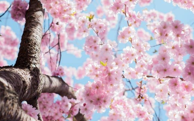 Stock image of cherry blossoms.